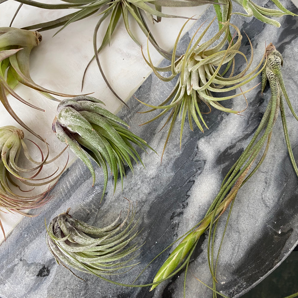 Assorted Small Air Plants