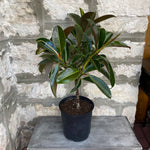 "10"" Rubber Tree Topiary"