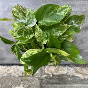 "Load image into Gallery viewer, 6"" Marble Queen Pothos"