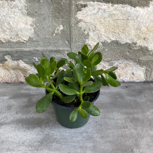 "Load image into Gallery viewer, 6"" Jade Plant"