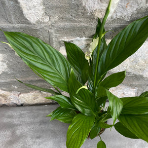"Load image into Gallery viewer, 4"" Peace Lily"