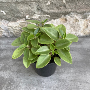 "Load image into Gallery viewer, 3.5"" Peperomia Pixie"