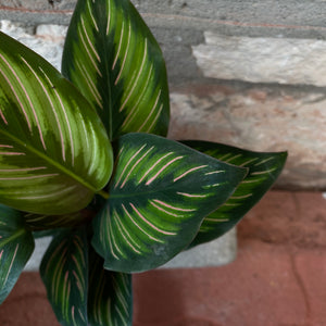 "Load image into Gallery viewer, 4"" Calathea Ornata"