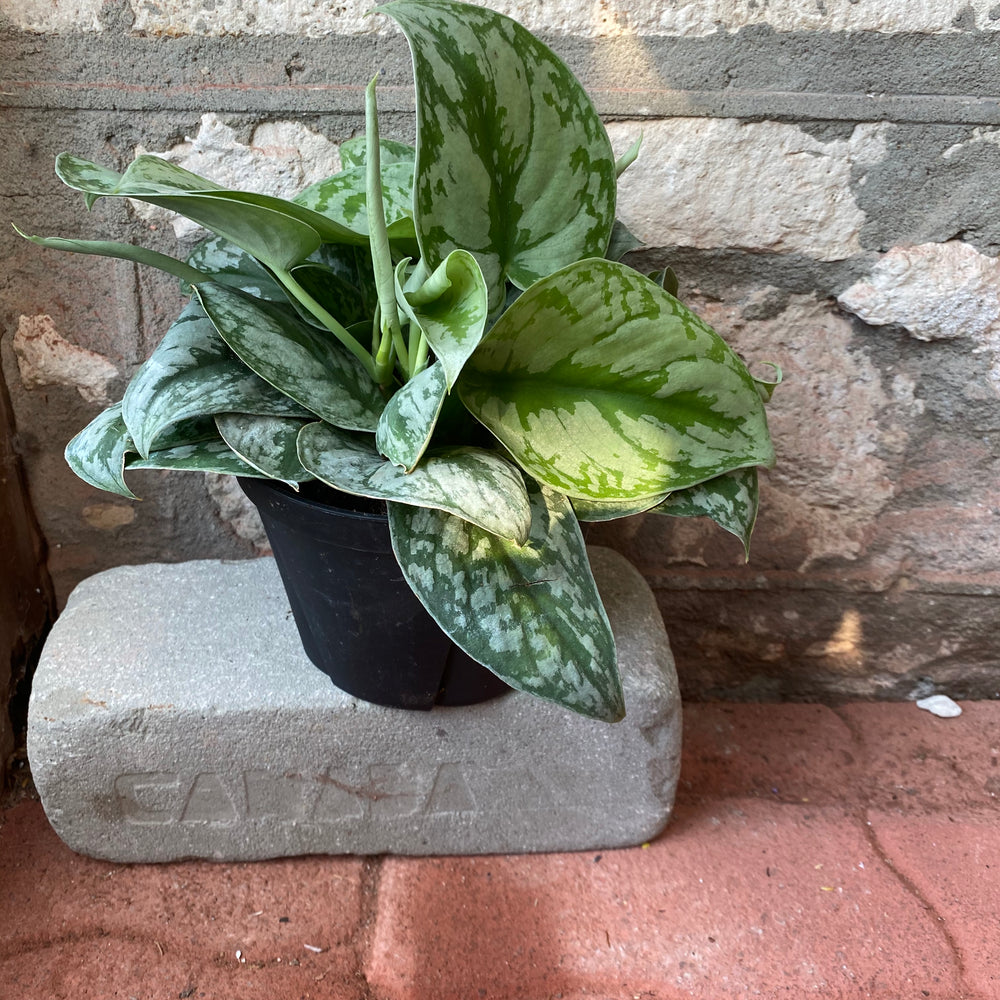 "Load image into Gallery viewer, 6"" Silver Satin Pothos"