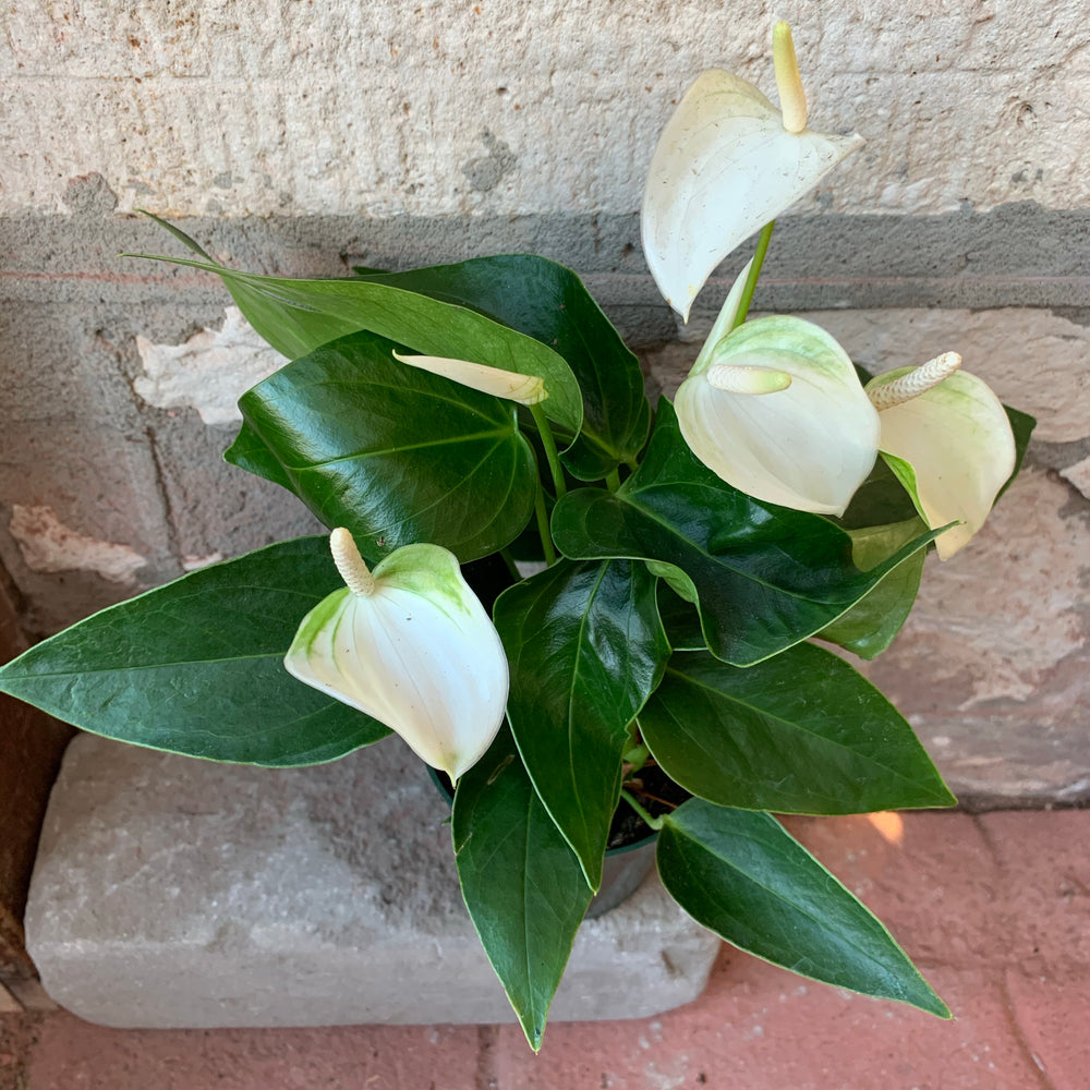 "4"" White Anthurium"