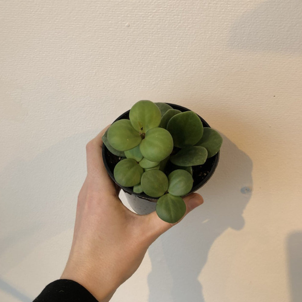 "Load image into Gallery viewer, 4"" Peperomia Hope"