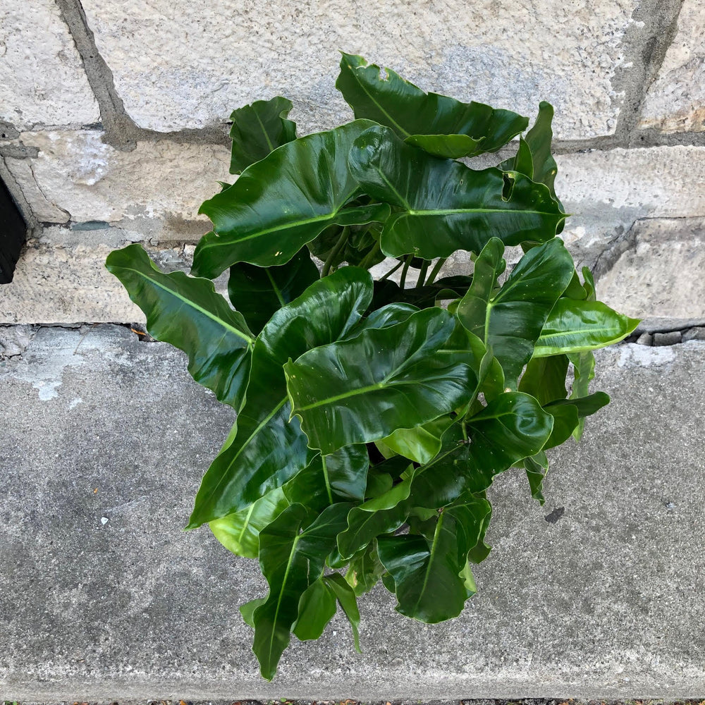 "Load image into Gallery viewer, 10"" Philodendron Burle Marx"
