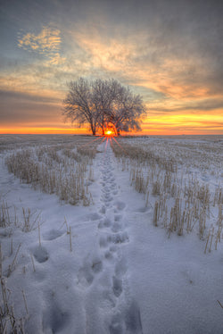 A tree during a saskatchewan sunrise with tracks leading to it