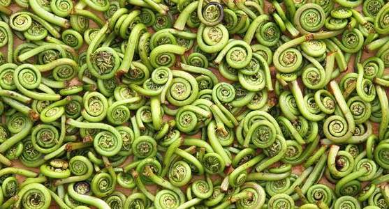The Fleeting Fiddlehead Season
