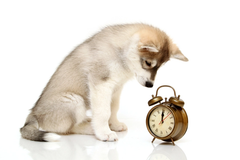 dog and an alarm clock