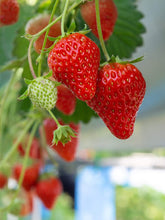 Day Neutral Strawberry Bare Root Plants 25 Count - Evie-2 Roots - Longer Fruit yielding Season