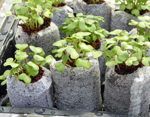 Coco Coir Seed Starter - 42 mm (50 Count) - Transplant Soil Discs