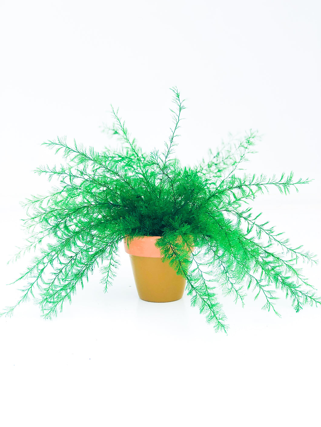 Everlasting Air Fern