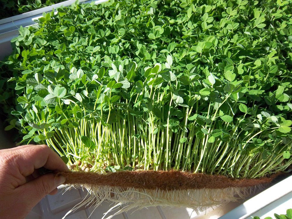 Microgreens - Tweak Your Palate Out of Rest