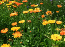 Live Mulch Hot Dots (Calendula)