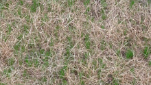 Lawn 10 Days After Seeding With Seed Stitcher