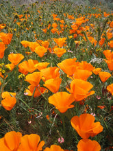 Live Mulch Boogie Oogie Outa Site Orange (California Poppy)