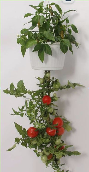 Upsy Downsy Hanging Salsa Garden by Triumph Plant