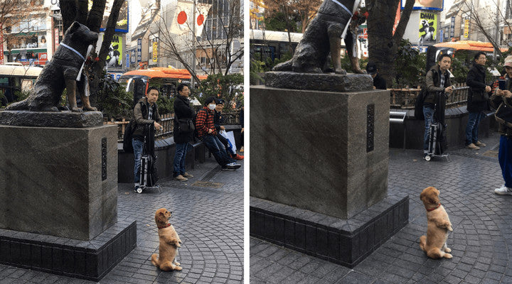 Dog posing for his owner in front of the Hachiko statue. What a great souvenir.