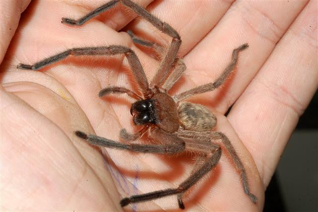 Spiders Found In New Zealand Green Reaper