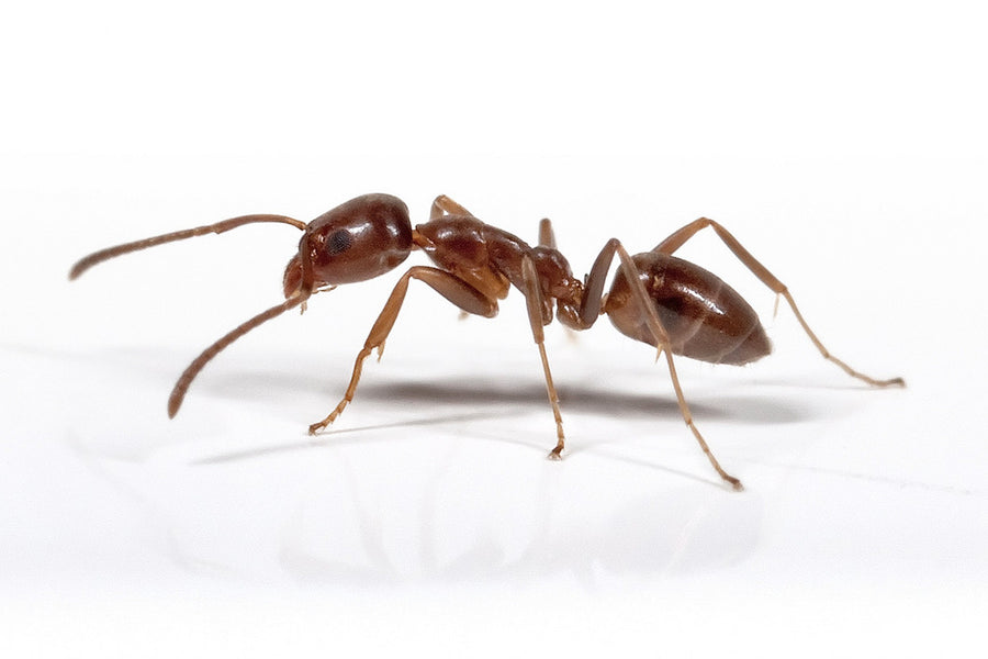 Our common Ants in NZ