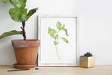 Basil Herb Watercolor Print
