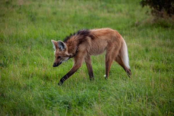 Maned Wolves, Are they Giant Foxes or Stinky Wolves?