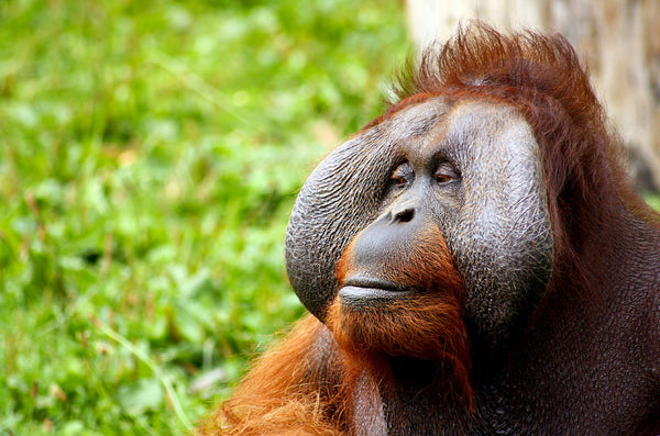 close up male orangutan
