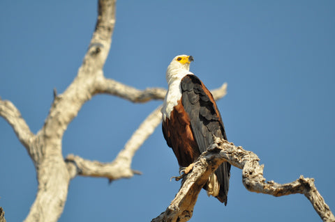 Wildlife Facts - African Fishing Eagles - Thieves in the Sky