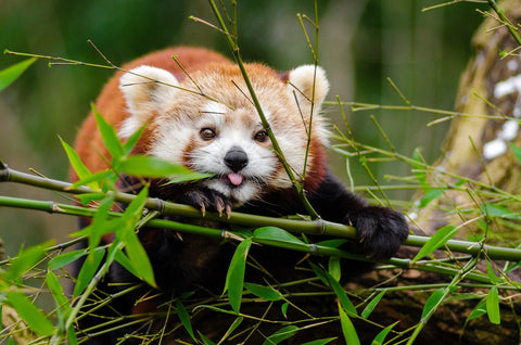 Cute Red Panda with Tongue Out