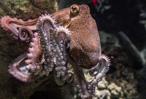 octopus climbing on wall