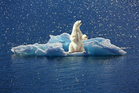 polar bear on melted ice cap