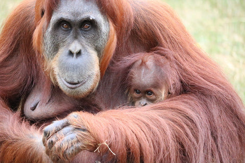 orangutan mo and baby cuddling