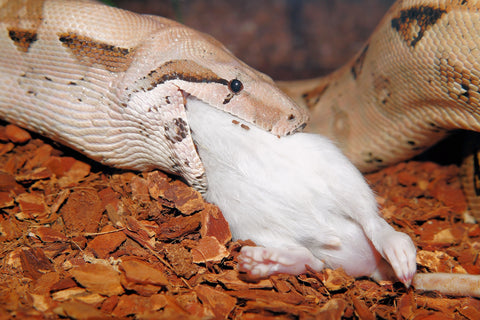 snake eating rat
