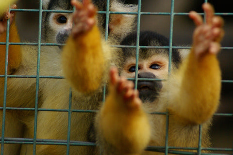 squirrel monkeys in cages