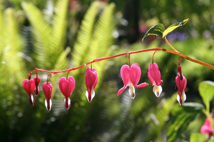 Bleeding Heart Flower Blank Greeting Card - High Tide Pictures & Gifts