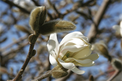 Magnolia Flower Blank Greeting Card - High Tide Pictures & Gifts