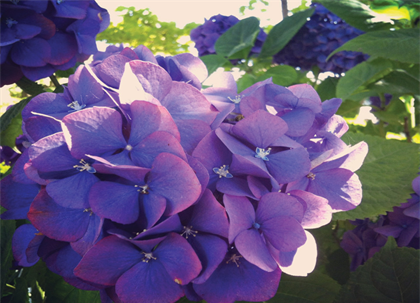 Purple Hydrangea Blank Greeting Card - High Tide Pictures & Gifts