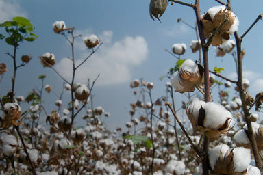 Field of organic cotton growing under blue sky