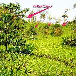 BiodiversiTEA Plantation In Indonesia