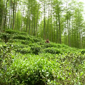 Journey To Wuyi Mountain – A Tea Hunting Video
