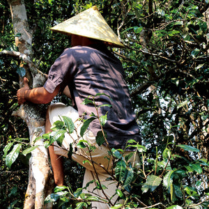 Tea Hunting Expedition: Exploring Ancient Tree Tea in Yunnan