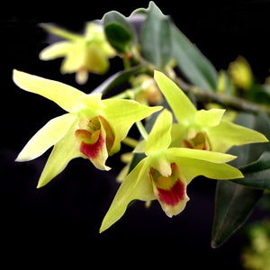 The Hidden Powers of Wild Rainforest Dendrobium Flower Tea