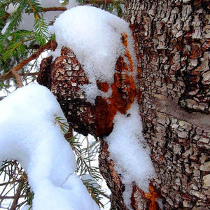 Wild Harvest Chaga - Wild Tea Qi Official Website