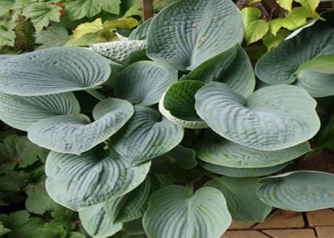 "Hosta ""Big Daddy"""