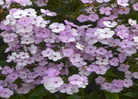 "Phlox ""Opening Act Blush"""