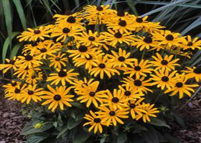 "Rudbeckie ""Little Goldstar"""