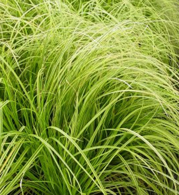 "Carex dolichostachya ""Gold Fountains"""