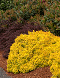 "Berberis ""Golden Nugget"""