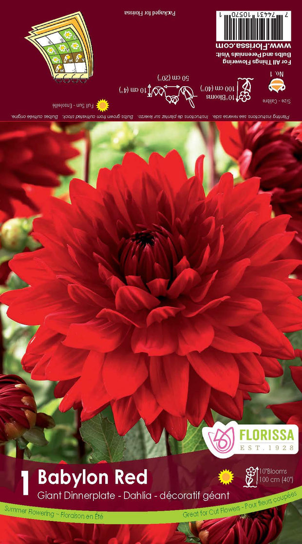 "Bulbe de ""Dahlia Babylon red"""